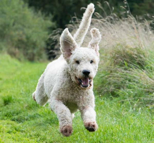 Curly dog running